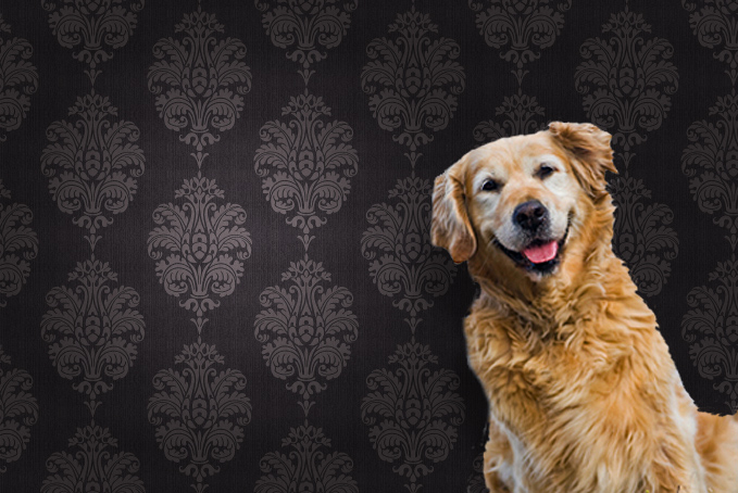 Golden Retriever dog against a brown pattern wallpaper background