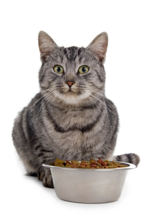 Cat with a bowl of food in front of it