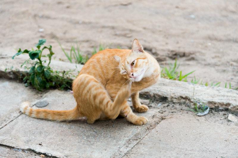 fleas-cats