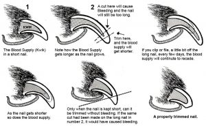 Diagram showing how to trim dog nails