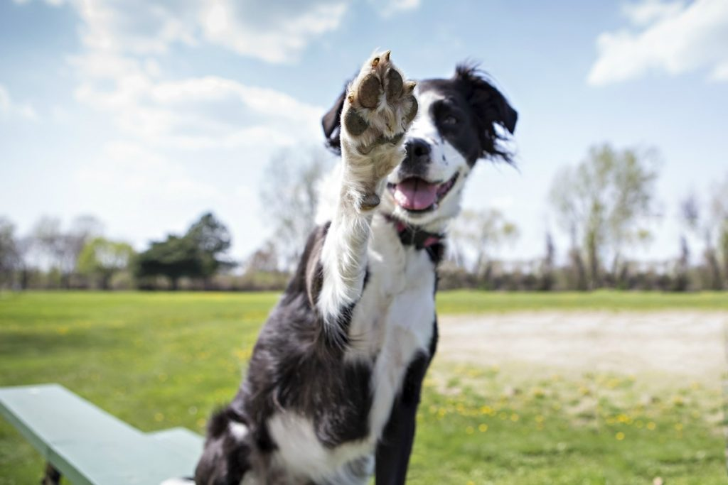 Dog lifting front paw