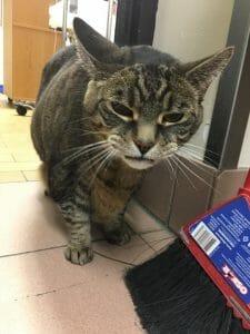 Gunner the cat at Coxwell Animal Clinic